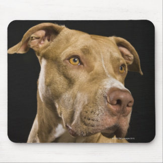 Portrait of red nose pitbull with black mouse pad