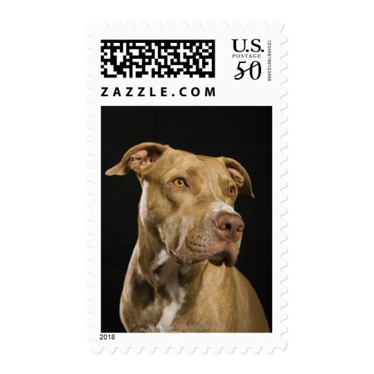 Portrait of red nose pitbull with black postage