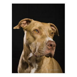 Portrait of red nose pitbull with black postcard