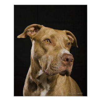 Portrait of red nose pitbull with black poster