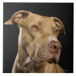 Portrait of red nose pitbull with black large square tile
