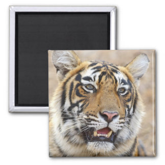 Portrait of Royal Bengal Tiger, Ranthambhor 2 Magnet