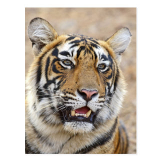 Portrait of Royal Bengal Tiger, Ranthambhor 2 Postcard