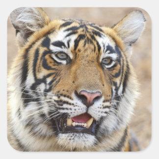 Portrait of Royal Bengal Tiger Ranthambhor 2 Square Sticker