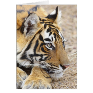 Portrait of Royal Bengal Tiger, Ranthambhor 3 Card