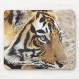 Portrait of Royal Bengal Tiger, Ranthambhor 3 Mouse Pad