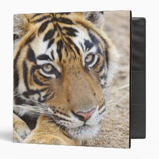 Portrait of Royal Bengal Tiger, Ranthambhor 4 3 Ring Binder