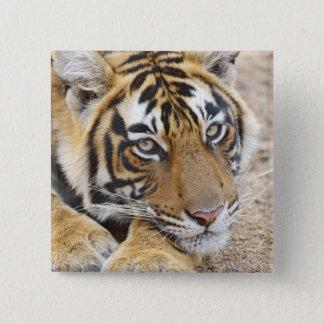 Portrait of Royal Bengal Tiger, Ranthambhor 4 Button