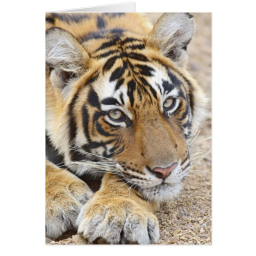 Portrait of Royal Bengal Tiger, Ranthambhor 4 Greeting Card