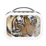Portrait of Royal Bengal Tiger, Ranthambhor 4 Yubo Lunchboxes