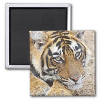 Portrait of Royal Bengal Tiger, Ranthambhor 4 Magnet