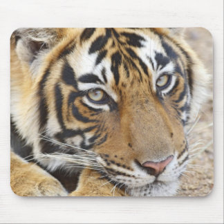 Portrait of Royal Bengal Tiger, Ranthambhor 4 Mouse Pad
