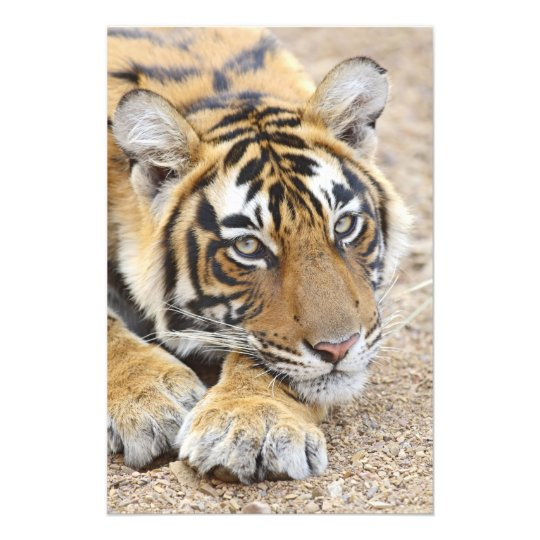 Portrait of Royal Bengal Tiger, Ranthambhor 4 Photo Print