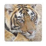 Portrait of Royal Bengal Tiger, Ranthambhor 4 Puzzle Coaster