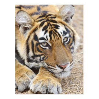Portrait of Royal Bengal Tiger, Ranthambhor 4 Postcard