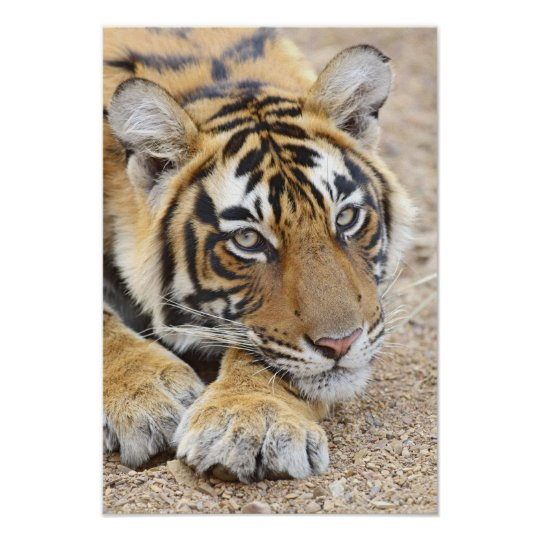 Portrait of Royal Bengal Tiger, Ranthambhor 4 Poster