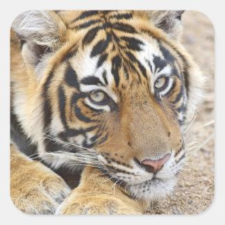 Portrait of Royal Bengal Tiger Ranthambhor 4 Square Stickers