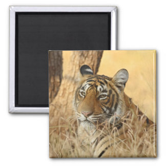 Portrait of Royal Bengal Tiger, Ranthambhor 5 Magnet