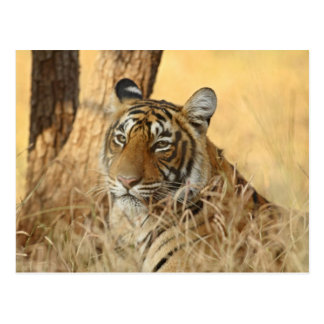 Portrait of Royal Bengal Tiger, Ranthambhor 5 Postcard