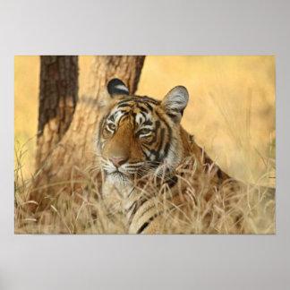 Portrait of Royal Bengal Tiger, Ranthambhor 5 Poster