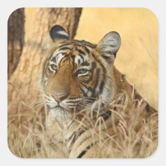 Portrait of Royal Bengal Tiger, Ranthambhor 5 Square Sticker