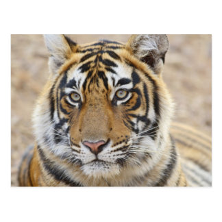 Portrait of Royal Bengal Tiger, Ranthambhor 6 Postcard