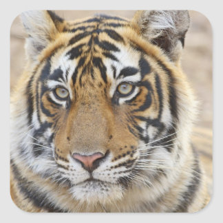 Portrait of Royal Bengal Tiger Ranthambhor 6 Square Sticker