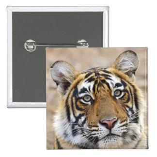 Portrait of Royal Bengal Tiger, Ranthambhor Pinback Button