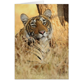 Portrait of Royal Bengal Tiger, Ranthambhor Card