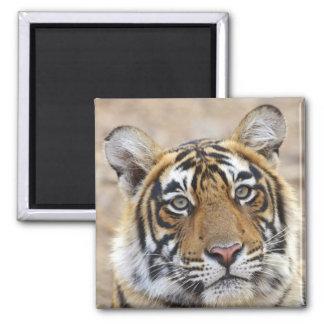 Portrait of Royal Bengal Tiger, Ranthambhor Refrigerator Magnets