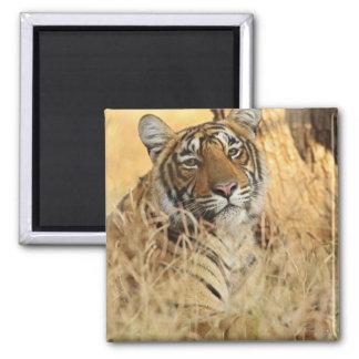 Portrait of Royal Bengal Tiger, Ranthambhor Magnet