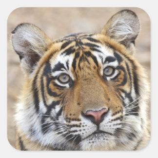Portrait of Royal Bengal Tiger, Ranthambhor Square Sticker