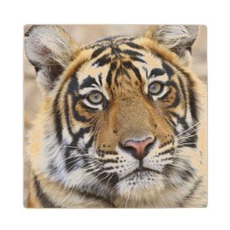 Portrait of Royal Bengal Tiger, Ranthambhor Wooden Coaster