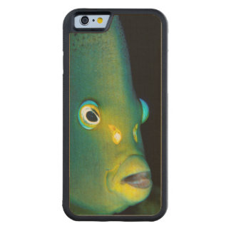 Portrait Of Semicircle Angelfish, Sodwana Bay Carved Maple iPhone 6 Bumper Case