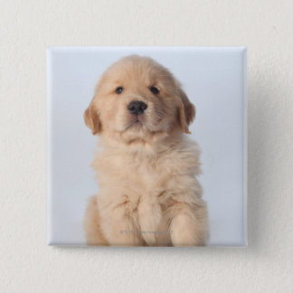 Portrait of six week old golden retriever puppy. button