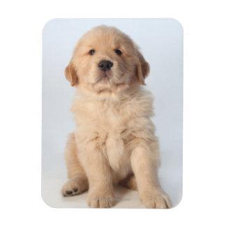 Portrait of six week old golden retriever puppy. magnet