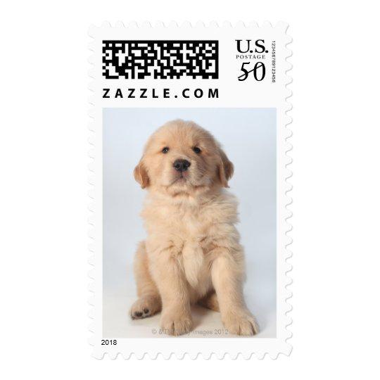 Portrait of six week old golden retriever puppy. postage