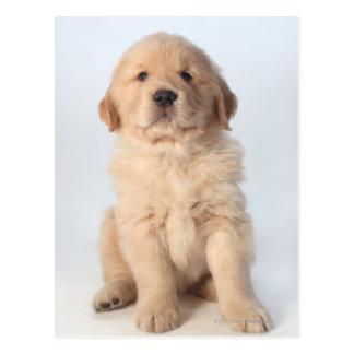 Portrait of six week old golden retriever puppy postcards