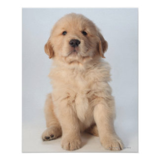 Portrait of six week old golden retriever puppy. poster