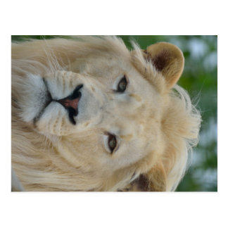 Portrait of South African White Lion Postcard