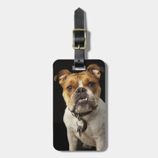 Portrait of tan and white bulldog with collar bag tag