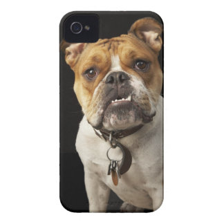Portrait of tan and white bulldog with collar iPhone 4 cover
