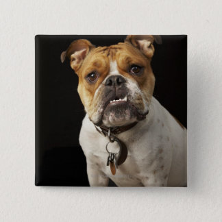 Portrait of tan and white bulldog with collar pinback button