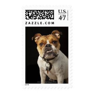 Portrait of tan and white bulldog with collar postage