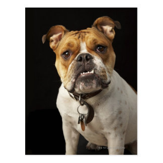 Portrait of tan and white bulldog with collar postcard