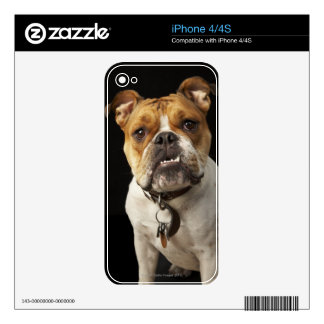 Portrait of tan and white bulldog with collar skin for the iPhone 4