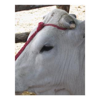 Portrait of the Chianina, italian breed of cattle Letterhead