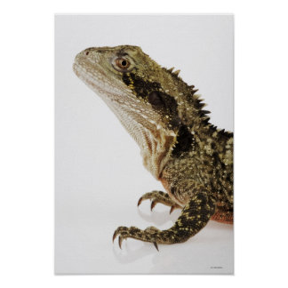 Portrait of this arboreal agamid species native posters