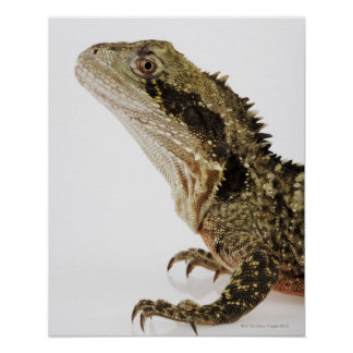 Portrait of this arboreal agamid species native poster