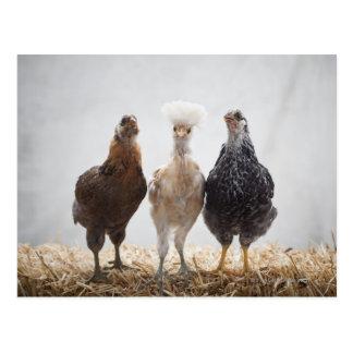Portrait of Three Pet Chickens Looking Forward Postcard